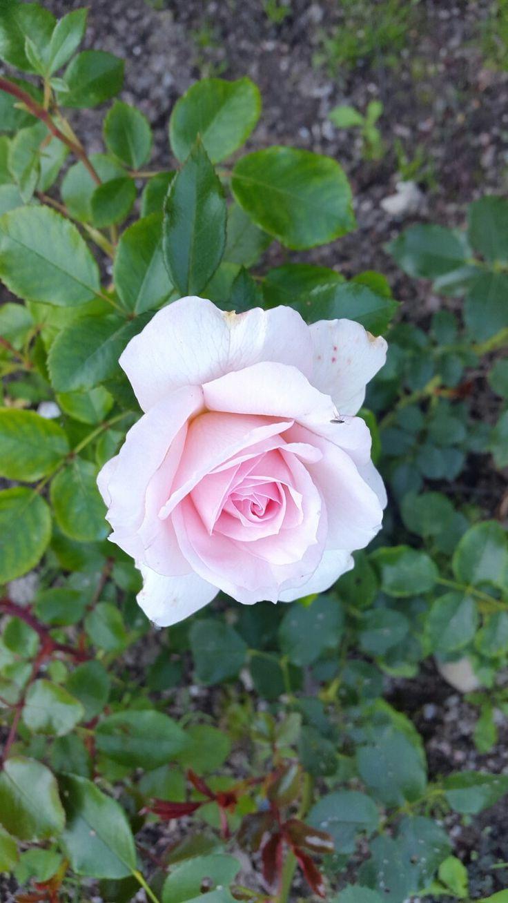 Розы в Котке.