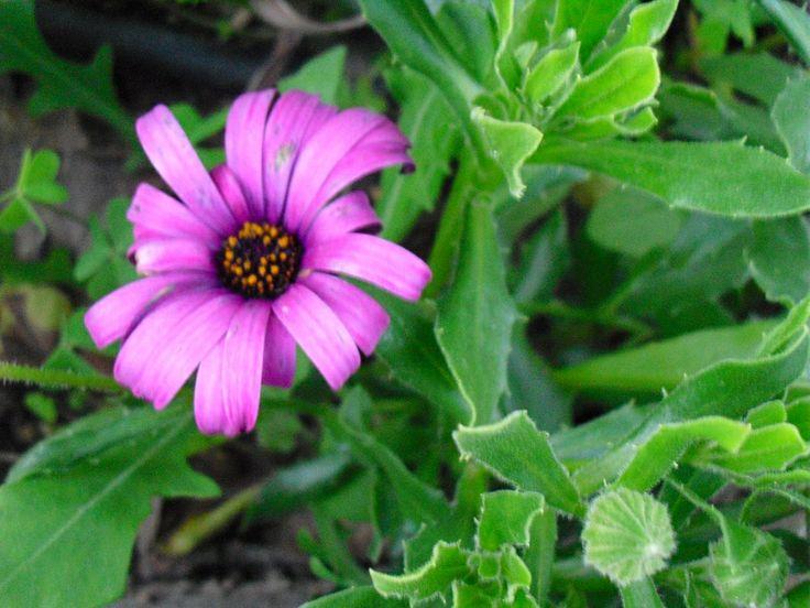 Asteráceas | Preço por unidade: 0,50€ | Referência: F004 | Mais informações em: http://biokafs-agro.weebly.com/flores.html
