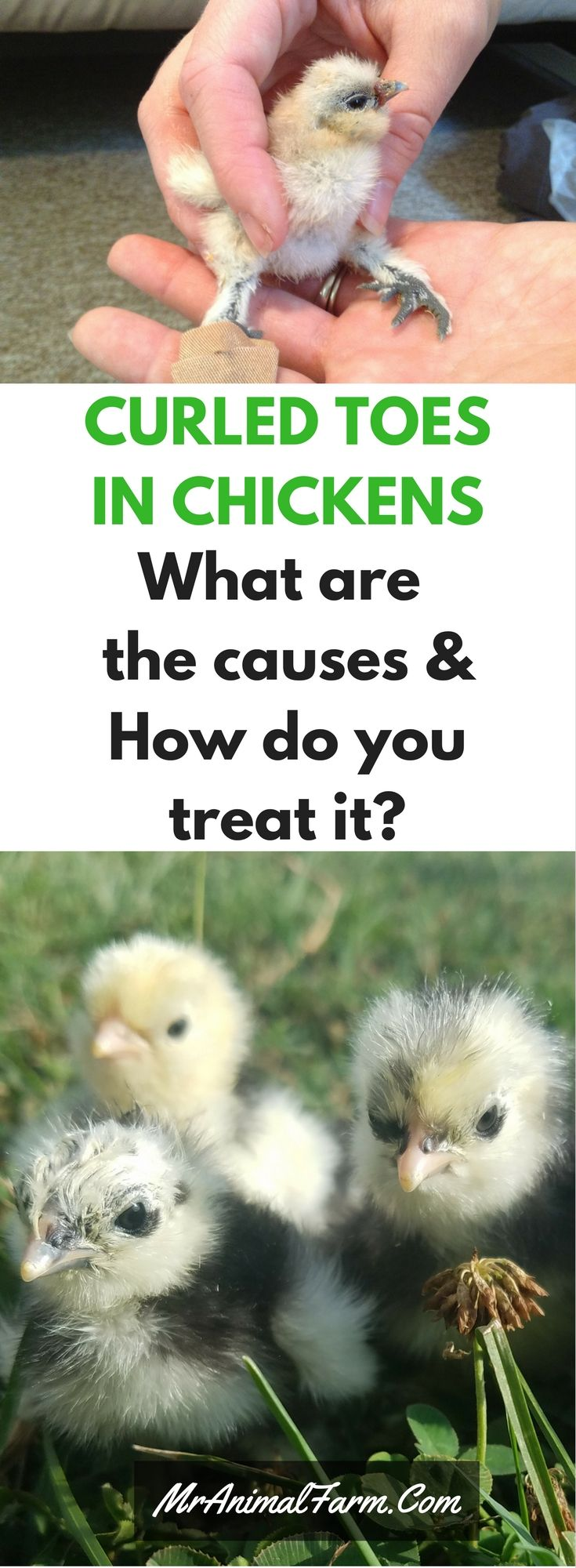 3326 best chickens and other poultry images on pinterest