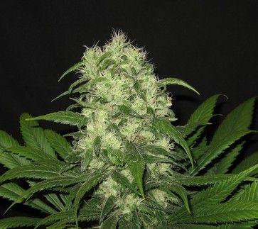 Conoce la genética de la variedad de #marihuana Critical Raskera en Seedfinder!