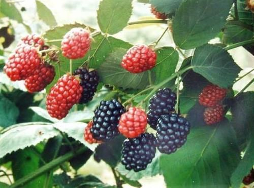 Mulberry Extract has been used for centuries in Chinese Medicine. Has been known to lighten dark spots and uneven skin tone. Mulberry Extract is used in our all natural Retinol Correcting Eye Créme. A wonderful new E. Burnham product that does wonders!