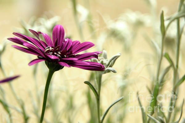 An african daisy and edelweiss