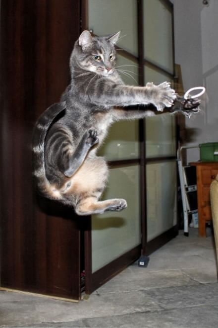 La vecchia arte marziale giapponese non rischia di estinguersi: a  tramandarla ci pensano i nostri simpatici felini domestici. Come infatti  raccontano queste immagini, inviate dai lettori del sito Boredpanda, si  scopre che i veri discendenti della dinastia ninja sono proprio i  gatti. Con le loro