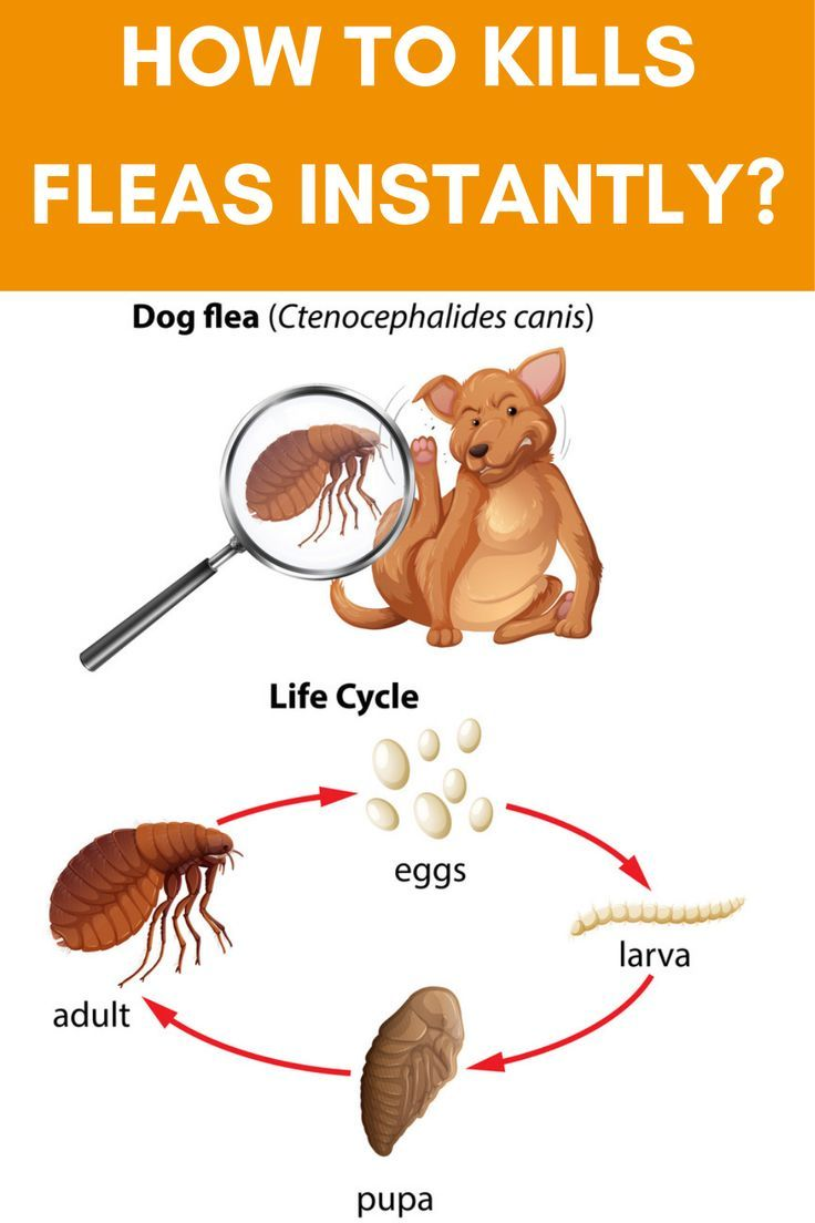 What Kills Fleas Instantly 5 Fast Acting Flea Treatments In 2020