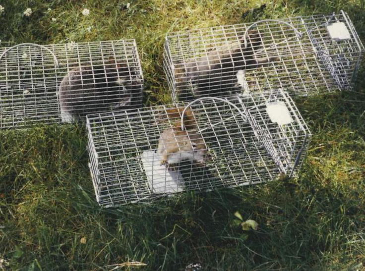 Three squirrels trapped in model 102 Original Series