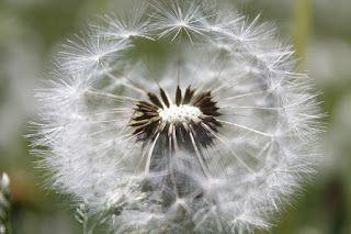 Martje: dandelion