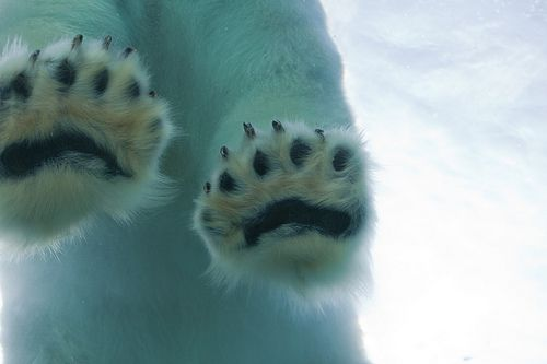 @Katy W here's some toe pads for you!Cute Animal, Polar Bears, Nature, Pets, White, Bears Paw, Toes, Blog, Black