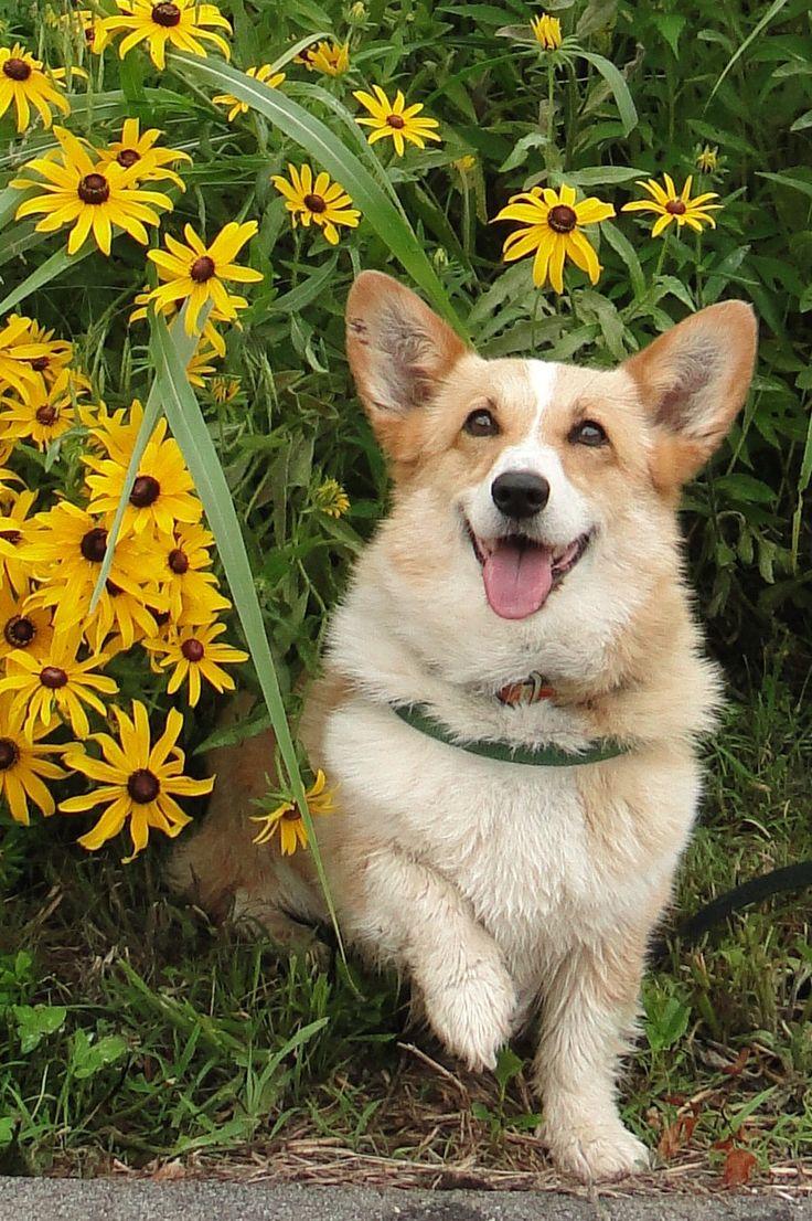 17 Best Images About Pets       Corgis  On Pinterest