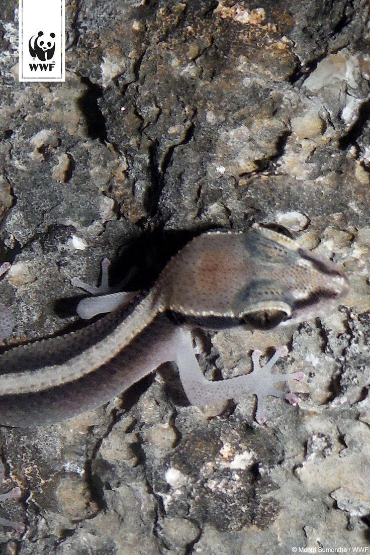 Dixonius kaweesaki ~🦎 ~ Diese neue Gecko-Art wurde von einem internationalen Forschungsteam in den Bergen des Khao Sam Roi Yot Nationalparks im Kui Buri District entdeckt  via @WWF_Deutschland