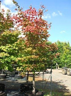 Acer japonicum Vitifolium   Full MoOlinda Nurseries   Wholesale Nursery Melbourne  