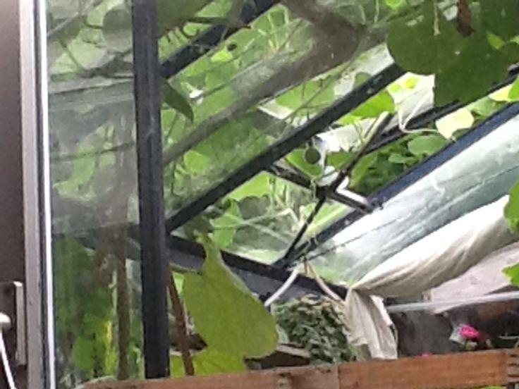 Peuter flessehalskalebas, vanaf het dak door het raam vd kas naar binnen hangend.