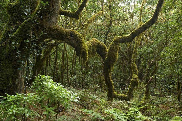 Le parc national de Garajonay abrite une végétation dense et se perd parfois dans les nuages. Un endroit aussi mystique que mythique.