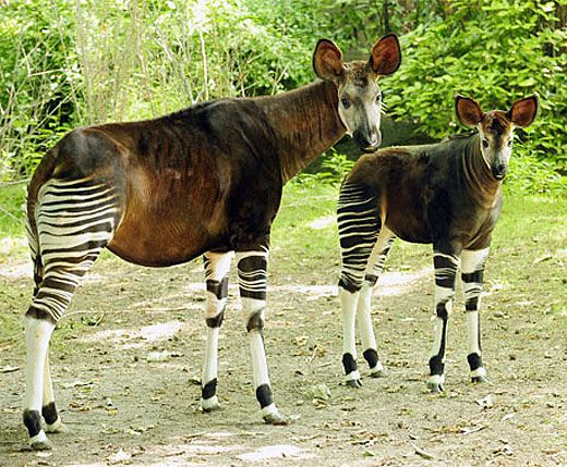 Okapi. These animals are a Zebra, Giraffe and Horse Mix.  They live along the Ituri River in the Democratic Republic of the Congo.