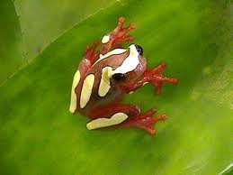 a clown tree frog.: Treefrog Frogs, Lizards Amphibians, Trees Frogs, News, Poisons Arrows Frogs, Frogs Toad, Clowns Trees, Clowns Frogs, Clowns Treefrog