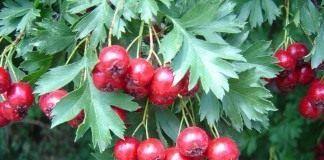 Плоды сердечные - Лекарственные растения