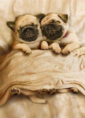 sleepy pugs <3 awww