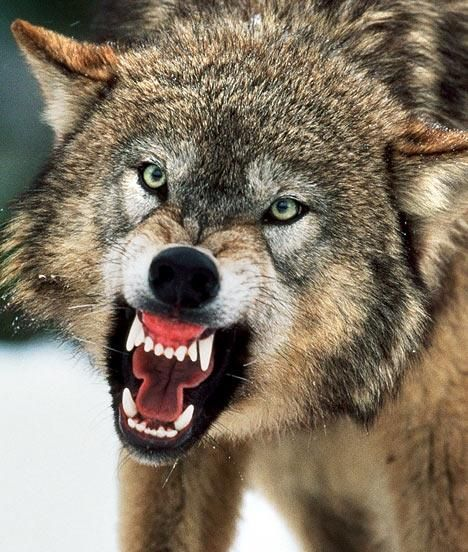 Wolf Pack Hunting Real Life | Big Bad Wolves