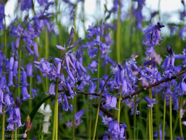 Bluebells of Scotland, (c) Floresence