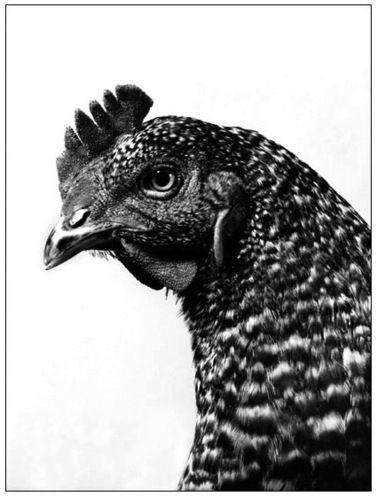 Voici un portrait de poule de Walter Schels qui s'est intéressé également à d'autres animaux et notamment aux lapins et lièvres