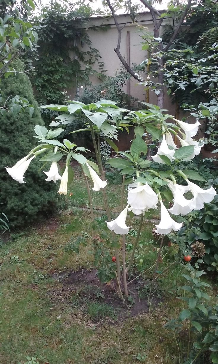 White brugmansia or angel bells in September 2015