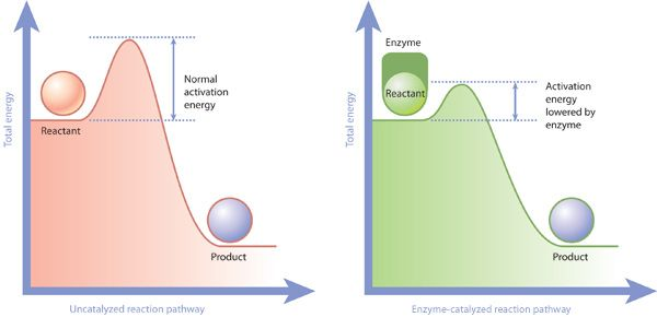 Two schematic plots are shown side by side, comparing the amount of activation energy required to support an un-catalyzed reaction (left) versus an enzyme-catalyzed reaction (right). Total energy is the label on the y-axis.
