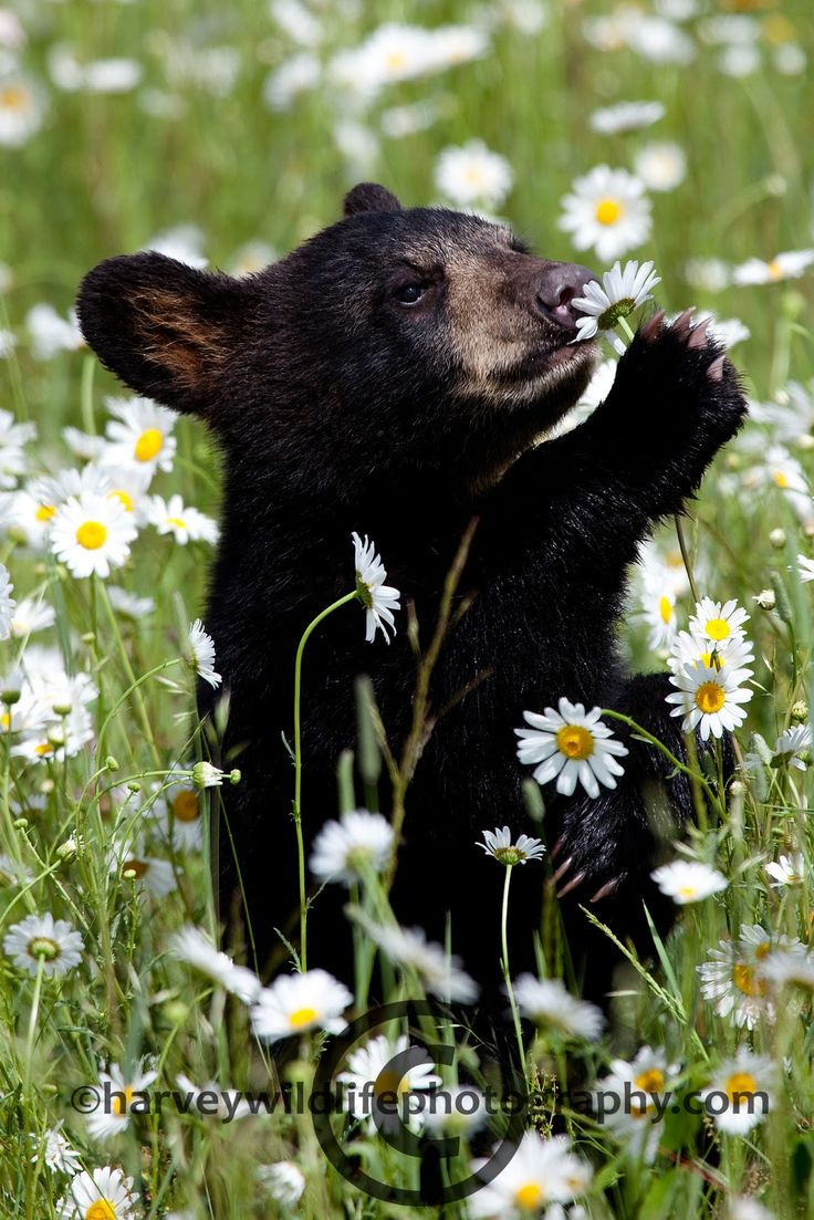 Black bear cub. Even animals take time to  smell the flowers. Or eat them.