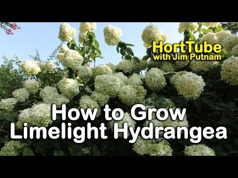 How to grow Limelight Hydrangeas (Hydrangea Paniculata or Tree Hydrangea) - YouTube