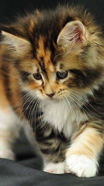 fluffy calico cat - photo #18