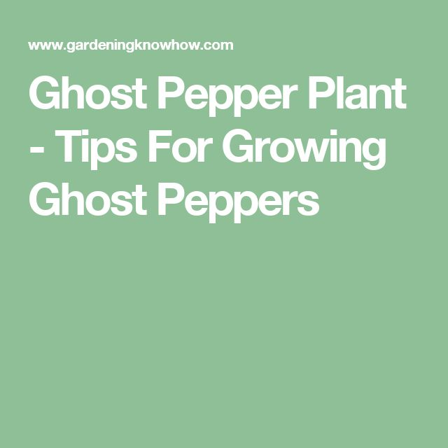 Ghost Pepper Plant - Tips For Growing Ghost Peppers
