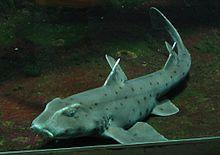 Horn shark - Wikipedia