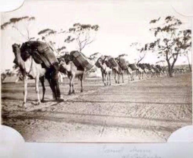 Coolgardie Camel Train
