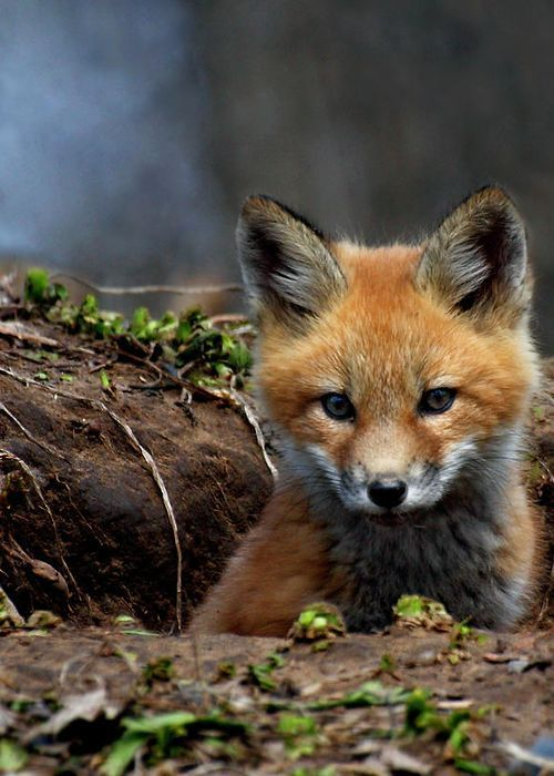 #Fox, #Animals, #Wildlife, #Photography
