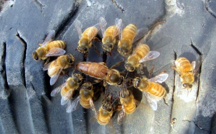 Pesquisadores da Universidade de Indiana observaram que as bactérias do sistema digestório das abelhas-rainha são diferentes das bactérias das operárias