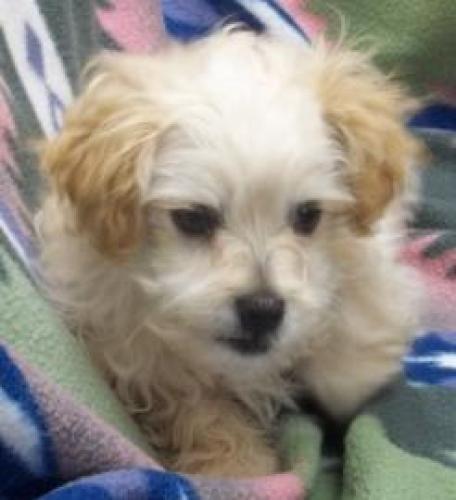 Spiral - cockapoo rescue dog for adoption in Lakewood, Washington, United States