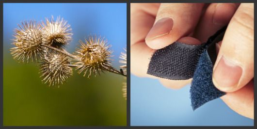 Velcro is widely known example of biomimicry.  Velcro was invented by Swiss engineer George de Mestral in 1941 after he removed burrs from his dog and decided to take a closer look at how they worked. The small hooks found at the end of the burr needles inspired him to create the now ubiquitous Velcro.