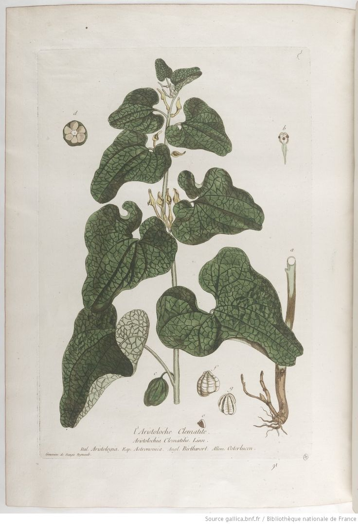 Aristoloche Clematite, La botanique mise à la portée de tout le monde... Exécuté et publié par les Sr et De Regnault.... Tome 1 | 1774