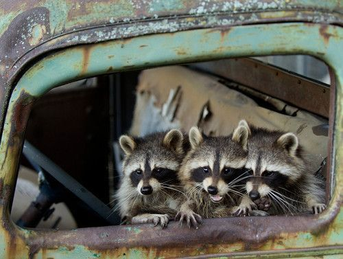 Racoons are so cute!