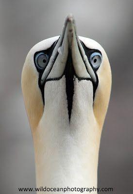 Adventures of a Marine Biologist: The Bass Rock Gannets