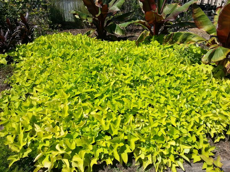 Ipomea Margarita. Souvent mise en jardinière ou en pot, elle fait un très beau couvre-sol.