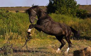 negro, caballo, melena, cola, los cascos, VERDE, hierba, Naturaleza, parte trasera