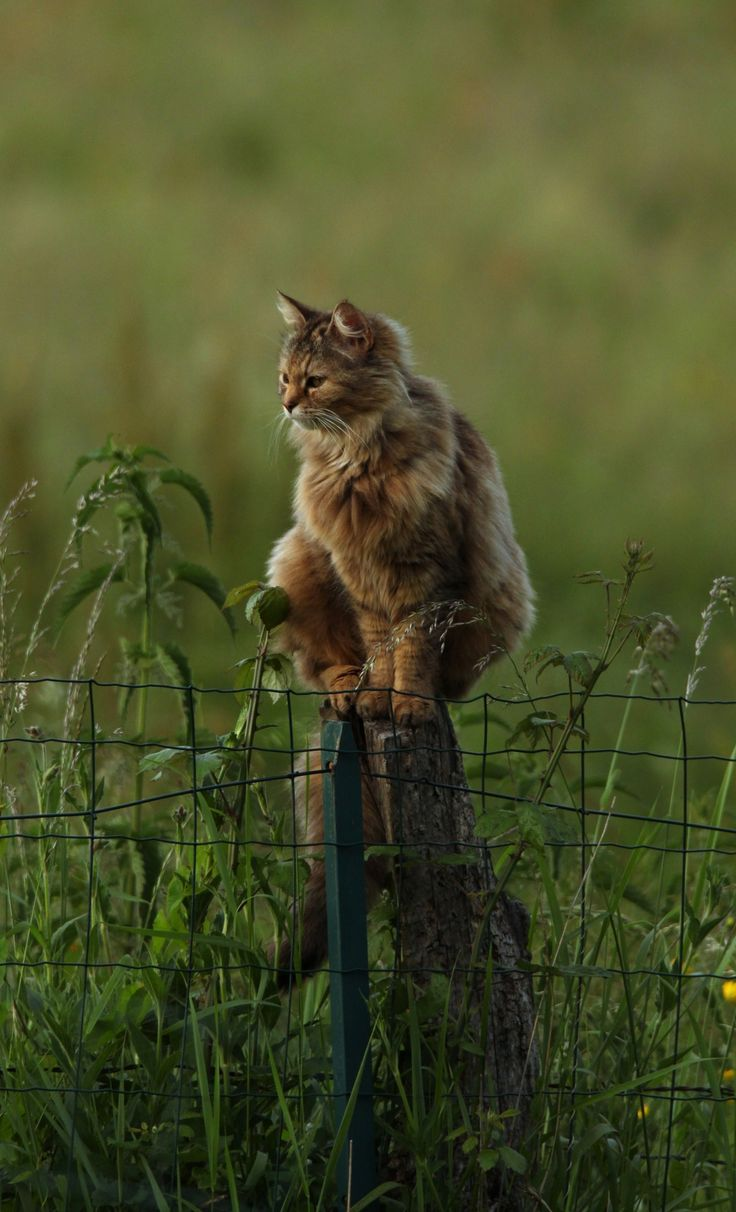 Love~~~Funny Kitty, Beautiful Cat, Maine Coon, The Farms, Fence Post, Country Life, Cat Perch, Animal, Baby Cat