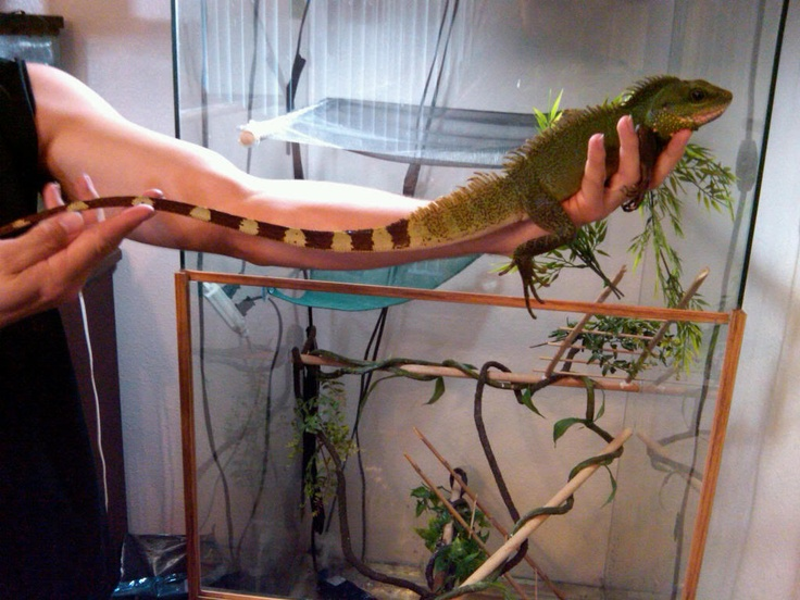 Best 25 Chinese Water Dragon Ideas On Pinterest