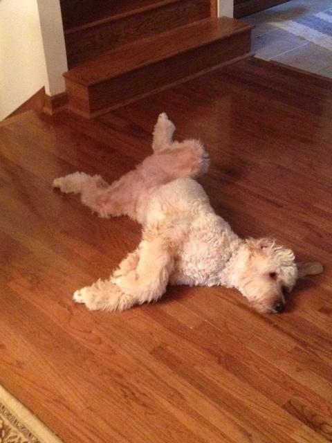 Abby Doodle dog