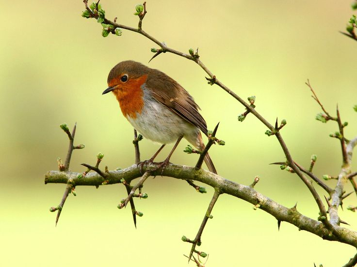 pettirosso: Birds Wallpapers, Animals Kingdom, Cute Birds, Bird Wallpaper, Robins, Beautiful Birds, Photo, Bird Birds 840955 Jpg