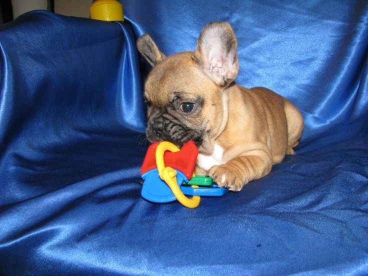 French Bulldog Puppies Orlando