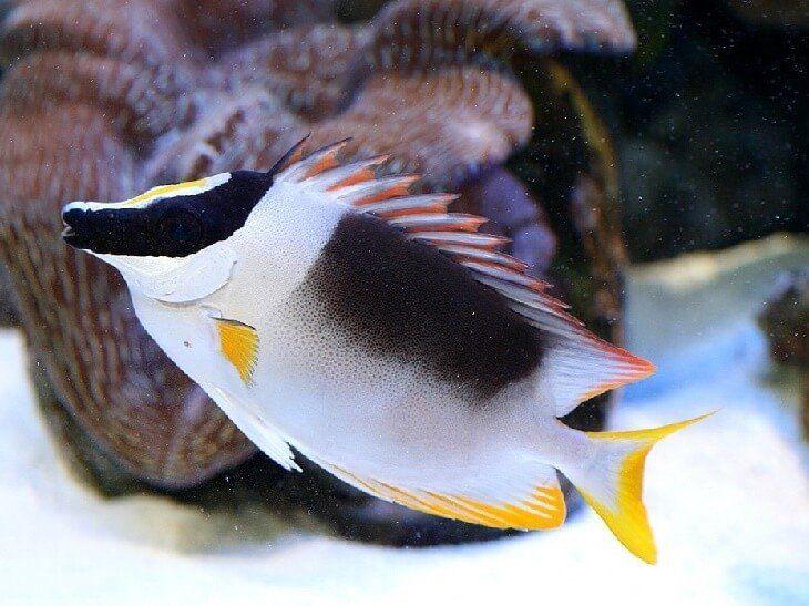 ЛИСИЦА ОГНЕННАЯ, СИГАН ВЕЛИКОЛЕПНЫЙ (Siganus magnificus) » Домашний аквариум