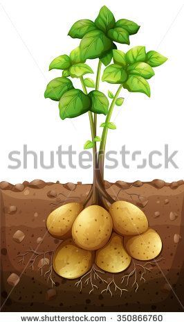 Potatoes plant under the ground illustration - stock vector