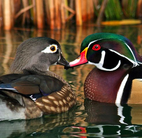 North American Wood Duck pair..they mate for a season, and the female does the choosing of her partner.