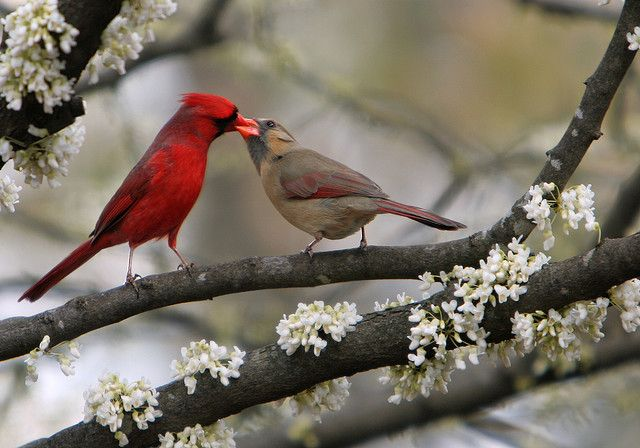 So sweet ~ A male cardinal feeding his mate. Cardinals mate for life.         (From linda yvonne on Flickr)