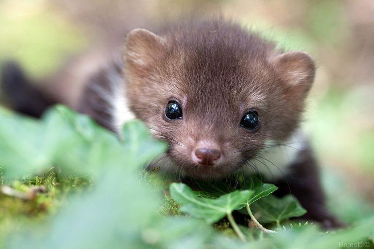 it's a stoat!
